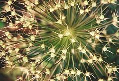 needles (omnia_mutantur) Tags: plant france verde green planta flora vert botanic needles aghi botanique francia botanica agujas pianta aiguilles agulhas gyverni