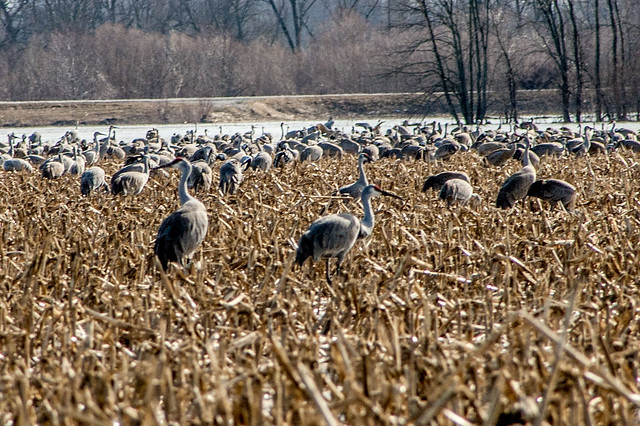 Sandhill Cranes - Ewing Bottoms - February 22, 2014