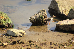 Jump (RaulHudson1986) Tags: sanfrancisco california bird beach animals rock jump funny sausalito tiburon