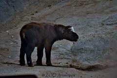 Mishmi takin - Budorcas taxicolor taxicolor (MrTDiddy) Tags: baby girl mammal zoo cow sheep newborn calf takin antwerpen zooantwerpen kalf mishmi zoogdier budorcas taxicolor antwerpw