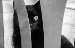 Gatto nero (Dani_1966) Tags: black animal cat lucky gatto nero fortuna