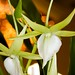 Angraecum Veitchii – Jerry & Anita Spencer, First Award
