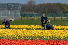 20140419-DSC_7602 (nikontino) Tags: flowers people dutch landscape tulip fields bulbs tulipa tulipe flowerarea