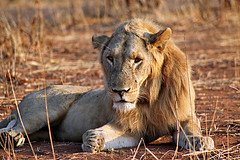 Lion: Panthera leo