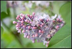 Lilac (mmoborg) Tags: flowers summer spring sweden sverige blommor sommar vår mmoborg