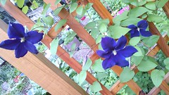 Jackmanii clematis with 4, 5, & 6 tepals on one plant (livewombat) Tags: clematis petal jackmanii sepal tepal