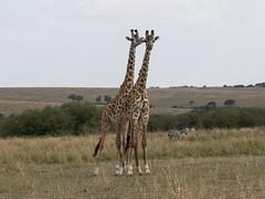 Ready To Go (Makgobokgobo) Tags: africa mammal kenya mara giraffe giraffa masaimara giraffacamelopardalistippelskirchi giraffacamelopardalis masaigiraffe masaimaranationalreserve maasaigiraffe kilimanjarogiraffe