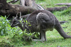 Wild Wallaby (Alison Claire~) Tags: life camera wild plants macro tree nature grass animal animals fauna canon lens landscape photography eos rebel photo bush flora native joey d wildlife australian australia victoria kangaroo 600 wallaby species vic aussie shrub aus creature canoneos roo t3i bushland wallabies 600d