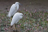 Little Egret (Steve Nelmes Photography) Tags: birds southwales wales avian littleegret canon14xteleconverter southwalesvalleys stevenelmesphotography canon7dmk2 canon100400ismk2