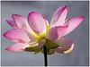 I love Lotus Flowers (FocusPocus Photography) Tags: flower lotus blume wilhelma lotos indianlotus nelumbonucifera lotosblume indischelotosblume