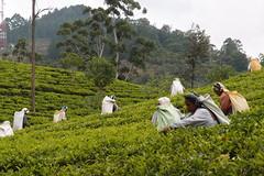 Picking tea (Carrascal Girl) Tags: tea ella srilanka ceylon teafactory teaplantation teaestate teapickers ceylontea teaharvest