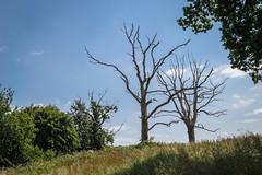 Skeletal Trees on The Barnsley Trail (Rob Jennings2) Tags: trees isleofwight skeletal iow barnsleytrail
