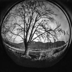 Snowball (Italian Film Photography) Tags: tree fisheye snowball film analogue albero palla pellicola blackandwhite biancoenero toy plastic lofi diana fomapan 200