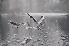 Play in the snow (Enricodot) Tags: enricodot winter cold bird birds snow wings lake pond tree water ilobsterit