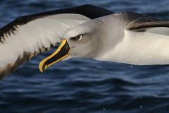 Buller's Albatross (Baractus) Tags: stewart island pelagic john oates bullers albatross new zealand