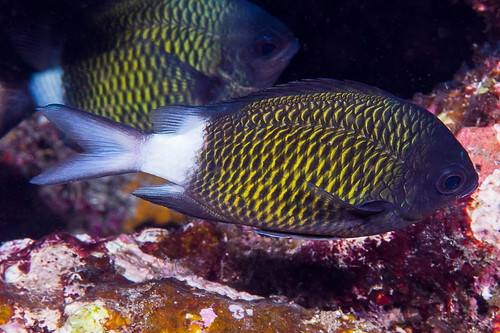 Stout-body Chromis - Chromis chrysura