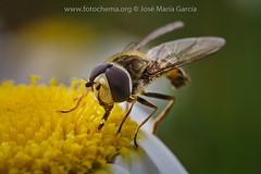 Desayunanado (fotochemaorg) Tags: abejas macro polen