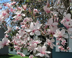 IMG_2138 (quirkyjazz) Tags: trees clouds spring lookingup magnolias blueskky