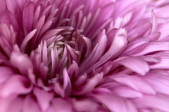 Chrysanthemum 05-12-13 (MelenaMe) Tags: pink flower nature petals lavender chrysanthemum