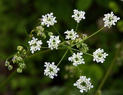 Cow Parsley (Chrissie28IWish! - waiting to see how Meg goes) Tags: wild white plant flower green floral leaves closeup cow petals stem bokeh stamens buds parsley stalk stigma