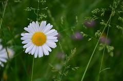 DSC_0041 (AlesCerin) Tags: cvet roa