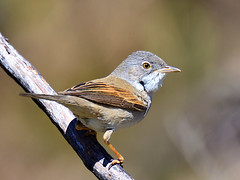 Papa Amoras // Whitethroat (jvverde) Tags: bird portugal nature birds natureza birdsinportugal avesemportugal aves ave avifauna sylviacommunis