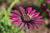 Osetospurnum (David S Wilson) Tags: uk flowers england ely fens lightroom flowersplants 2013 sonysel30mmf35macrolens sonynex6