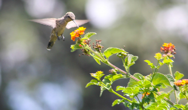 Hummingbird_at_Geek_Hill_2013-438