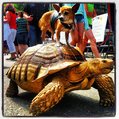 #van4life #vancouver #commercialdrive #carfreeday @cangeo #beautifulbritishcolumbia #beautifulvancouver  chihuahua riding 37 years old big turtle...!
