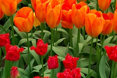 33_DSC_0009 (Tommy Wernikowski) Tags: flowers horses church nature bicycle landscape boats nikon europe candles tulips cathedral stainedglass canals tulip bible purses woodenshoes tommywernikowski