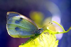 Pieris rapae on multicolored (Ignazio Corda) Tags: butterfly liberty papillon multicolored mariposa farfalla pierisrapae justnature colorphotoaward nikond300 beautifulmonsters photobyigcor
