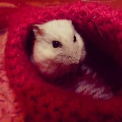 IMG_20130430_103946 (Sara6818) Tags: naturaleza pets nature mouse mascotas ratón hámster zoología