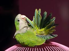 _7110050 (Entoete) Tags: verde gris aves loro cotorra pecho invasoras