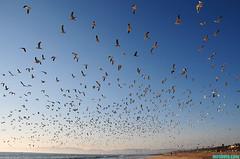 GullWorld (mcshots) Tags: ocean california summer sky usa seagulls bird beach birds coast wings sand gulls flock stock flight socal mcshots southbay losangelescounty