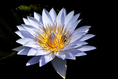 Waterlily at Longwood Gardens (nutzk) Tags: flower nature gardens waterlily pennsylvania nymphaea longwood