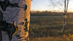 will you still love me tomorrow (Sergey S Ponomarev) Tags: autumn light sunset nature forest canon landscape heart russia outdoor ngc birch birches 600d vyatka viatka