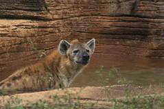 swimming (ucumari photography) Tags: sc laughing zoo october south columbia carolina spotted hyena riverbanks 2013 6554 specanimal ucumariphotography hyenahyena