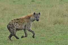 Polka-Dot Peril (Duncan Blackburn) Tags: nature mammal nikon kenya wildlife ngc migration hyena masaimara spottedhyena supershot coth5 sunrays5