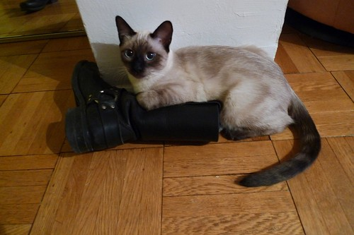 cat boot kitten matty siamese matterhorn frye vision:sky=0534 vision:outdoor=0712