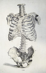 Front view of the bones of the torso
