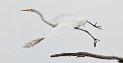 Call me Grace (teri037) Tags: sky tree bird heron nature fly wildlife birding southcarolina charleston greatwhiteheron specanimal blinkagain bestofblinkwinners blinksuperstars blink4gallery