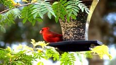 Cardinal4 (DonMiller_ToGo) Tags: bird cardinal birdfeeder telephoto gf1 views100 45200mm
