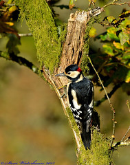 Male Greater Spotted Woodpecker. (spw6156 - Over 5,089,379 Views) Tags: copyright male woodpecker 14 steve  cropped spotted greater waterhouse