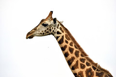From: Pakwach. Uganda. A girafe ensnarled by poachers and isolated fro... (L. Zylberman) Tags: 365 uganda uga degrees degres northernprovince pakwach