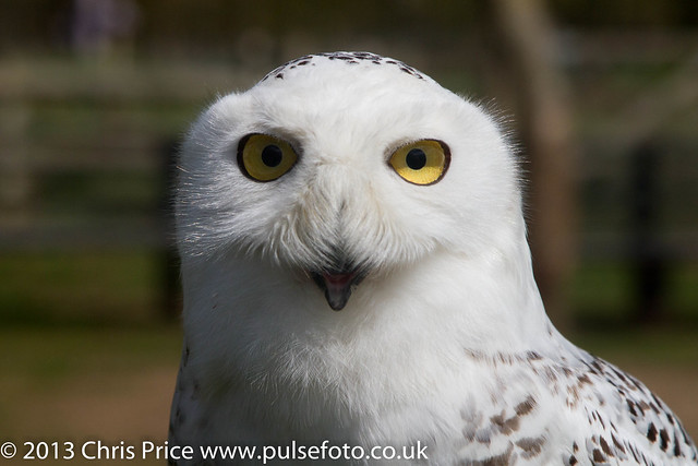 PF0302 Snowy Owl.jpg