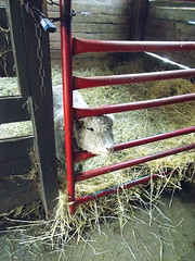 XMAS 0286 (RANCHO COCOA) Tags: sheep pennsylvania orchard grocery fruitstand stable wexford giftshop soergelsorchards
