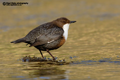 White-throated Dipper (Nigel Blake, 17 MILLION views! Many thanks!) Tags: autumn white color colour bird fall water leaves canon silver river eos gold leaf stream european fast birch flowing silverbirch dipper whitethroated cinclus gularis canoneos1dsmkii 600mmf4lis