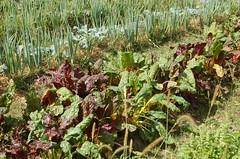 "Delano Garden Crops <a style=""margin-left:10px; font-size:0.8em;"" href=""http://www.flickr.com/photos/91915217@N00/12450282133/"" target=""_blank"">@flickr</a>"
