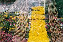Hoa xun 2014 (MrQQ [April's Aries]) Tags: life camera flowers art film photography iso200 colorful mood dream vietnam analogue 135mm cmehasmena8m