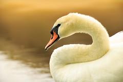 IMG_8083 (AmerSadiq) Tags: ocean new sea lake haven water birds rock forest river geese duck swan birding ducks goose east swans jungle
